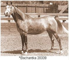 Arabian mare Bachantka, born in 1957