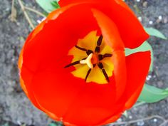 Red tulip, yellow centre