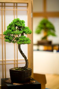 Excellent bonsai tree in an exhibit. Add a bonsai tree to your home décor and I promise, your guests will all ask about it!