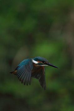 Kingfisher (Great photo! fb)