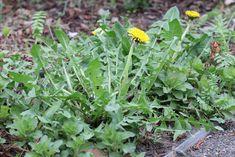 Schau was passiert, wenn du Essig im Garten benutzt! – Gesund Leben
