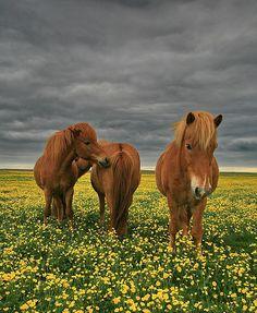 ~~Hestar10 ~ horses, Iceland by olgeir~~
