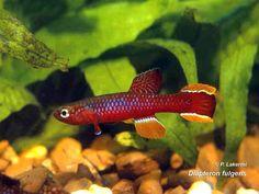 Diapteron fulgens Ocean Aquarium, Freshwater Aquarium Fish, Aquarium Ideas, Fish List, All Fish, Water Life, Fish Tanks, Beautiful Fish, Aquascaping