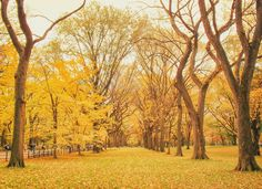 New York Autumn - Central Park Elm Trees with Fall Foliage