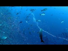 Mesmerizing: Pufferfish Twirling in Bubble Lassos