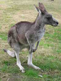 Our pet kangaroos.  They've all gone now.