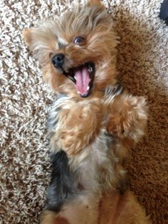 Makes me smile every time! Yorkie puppy, Yorkshire Terrier, cute dogs, dog