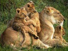 Mama lion :)