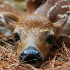 Beautiful fawn. And that is how they lay. You can walk up to them and they don't even blink.