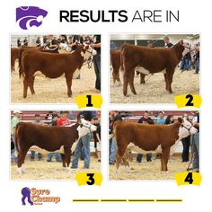 Mark That Card: Performance Hereford Heifers Results - Sure Champ Livestock Judging, Livestock Farming, Showing Livestock, Pet Pigs, Guinea Pigs, Farm Animals, Cute Animals, Hereford Cattle, Raising Cattle