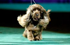 Stump, Sussex Spaniel, Westminster Dog Show Winner 2009 Horses And Dogs, Animals And Pets, Dogs And Puppies, Clumber Spaniel, Cocker Spaniel, Spaniels, Spaniel Breeds, Dog Breeds
