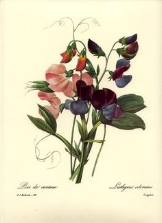 Redoute Botanical Flower Print ~ Sweet Pea Bouquet