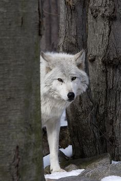 Gorgeous Wolf in honor of my friend who is fascinated by wolves.