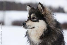 Finnischer Lapphund - ROYAL CANIN Tiernahrung GmbH & Co. KG