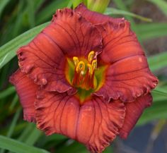 """Spring Spot On (Salter E 2014) TET. Sev. E. Re. 29"""" inch scapes. 3.5"""" flowers. Bright red with small watermark and triangular green throat. Very round and precise form. Fertile."""