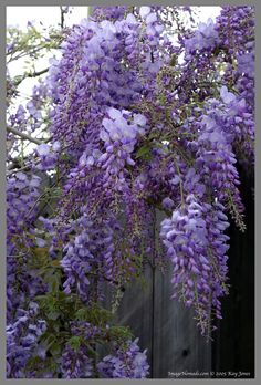 I believe this is what is blooming all over Virginia right now- the purple wisteria