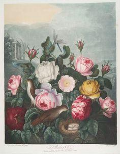Roses. (1807)  Creator: Earlom, Richard,1743-1822--Engraver  Additional Name(s): Thornton, Robert John,1765 - 1832--Author   Thornton, Robert John,1765 - 1832--Artist  Medium: Mezzotints  Item Physical Description: 57 x 48 cm. Color Mezzotint, engraving hand-colored.