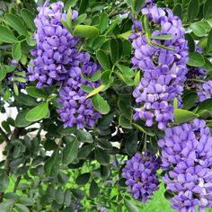 Texas Mountain Laurel~Smells like grape bubblegum! We have 2 in our backyard.