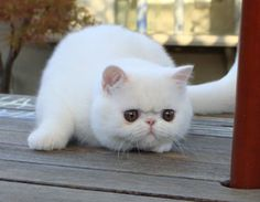 Bella Mia Cattery of Exotic Shorthair and Persian Cats - 2011 Kittens