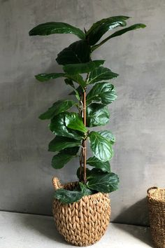 We love the versatility of Ficus Lyratas, as they truly make any space come to life. Provide bright, indirect light and keep the soil lightly moist for healthy, happy foliage. Large Indoor Plants, Indoor Trees, Indoor Plant Decor, Large Leaf Plants, Real Plants, Air Plants, Pots For Plants, Fiddle Leaf Fig Tree, Floor Plants