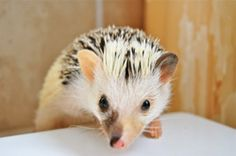 Our newest hedgehog, Pebbles! So cute! Pet Gifts, Make Me Smile, Hedgehog, Cute Animals, Super Cute, God, Products, Style, Pretty Animals