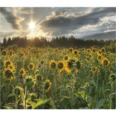 Sunflower Fields Canvas Wall Art ($117) ❤ liked on Polyvore featuring home, home decor, wall art, backgrounds, photos, filler, photo wall art, sun wall art, photo canvas wall art and canvas wall art