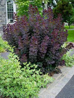 smoke bush - one of my favorite perennials!, purple smoke bush - one of my favorite perennials!, purple smoke bush - one of my favorite perennials! Garden Shrubs, Landscaping Plants, Front Yard Landscaping, Lawn And Garden, Inexpensive Landscaping, Luxury Landscaping, Garden Trees, Outdoor Landscaping, Landscaping With Shrubs