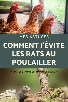 Infestation, Les Rats, Beautiful Chickens, Keeping Chickens, Chicken Runs, Permaculture, Appris, Place, Rooster