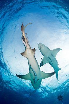 2013 Bahamas 12 049 Tiger Beach Lemon shark by Tim Priest Underwater Creatures, Ocean Creatures, Underwater World, Orcas, Shark Pictures, Water Life, Beautiful Ocean, Shark Week, Sea World
