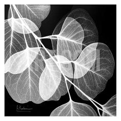 Created by Albert Koetsier, this is another example of x-ray photography. This image is of a eucalyptus plant.
