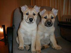 CARLOINA DOG PHOTO | California Carolina Dogs | Photo Gallery #3