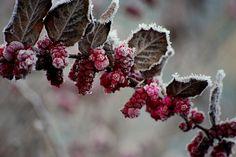 whispers of rosy winter .. X ღɱɧღ ||