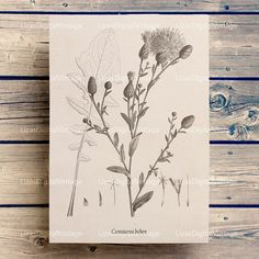 #LizasDigitalVintage Cornflower Floral wall art Antique prints by LizasDigitalVintage
