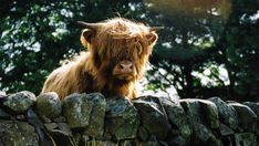 Highland Cattle Calf | Birds And Beasties at House-of-Lynn