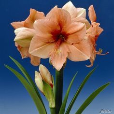 Hippeastrum Amaryllis Rilona - 2 BulbsOne of the most distinctive of Amaryllis, with huge, rich pastel blooms of melon-orange, complimented perfectly