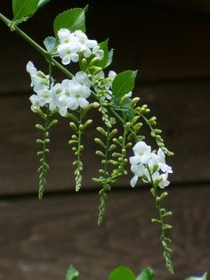 White Sky Flower, or Duranta erecta White Roses, White Flowers, Simple Flowers, Colorful Flowers, Duranta, Night Garden, Side Garden, White Sky, White Gardens