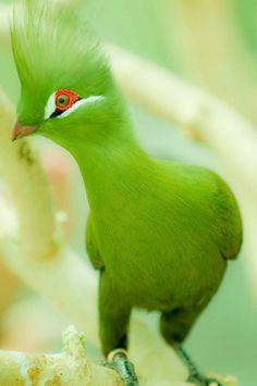 Guinea Turaco