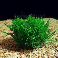 Micro Sword Lilaeopsis Novaezelandiae Live Aquarium Plants Java Moss Freshwater