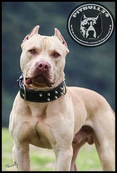 Pit bulls = Beautiful ... Handsome, handsome man!!! Bless their sweet lil hearts <3 <3 <3