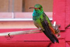 Colibrí Amazilia Rabirrufa -Rufous-tailed Hummingbird- (Amazilia tzacatl) | Flickr - Photo Sharing!