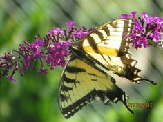 Most likely a swallowtail but I'm not sure which one on a butterfly bush.