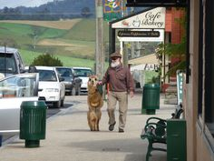 An everyday occurance in a little town in Tassie. Man walks his Lama....too cute!