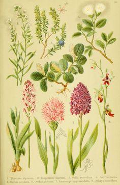 Alpen-Flora für Touristen und Pflanzenfreunde Stuttgart :Verlag für Naturkunde Sprösser & Nägele,1904. biodiversitylibrary.org/page/10384128