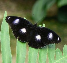 As Borboletas pertencem à ordem de insetos denominada Lepidóptera uma das divisões da grande classe Insecta, a qual, por sua vez, é parte do filo Arthropoda. Quando se pega uma Borboleta com as mão…