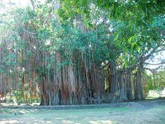 Banjan Tree, Mauritius