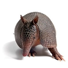 Armadillo (From website that lists ways to humanely discourage armadillos from damaging areas when digging.)