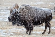 A Frigid Truth - A wild mature American Bison takes in the snowstorm that has engulfed himself and the rest of his herd on a cold winter's morning at the Rocky Mountain Arsenal National Wildlife Refuge - Denver CO
