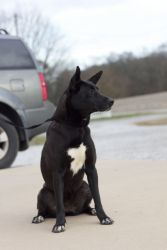 Leona is an adoptable Akita Dog in Tanner, AL. This sweet girl is very special to our Director. She was living as a stray at the local school and it took her 3 weeks to earn her trust and catch her. O...