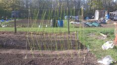 My simple bean trellis- ball of string and 7 canes.