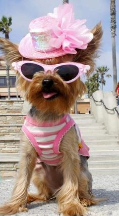 Yorkie Doggie, Beach Babe, Pet Fashion, Yorkie S, Yorkshire Terrier, Animals Dogs, Doggie Dressed, The Beach, Pets Animals Cute Nature